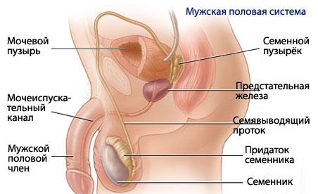 К наружным половым органам