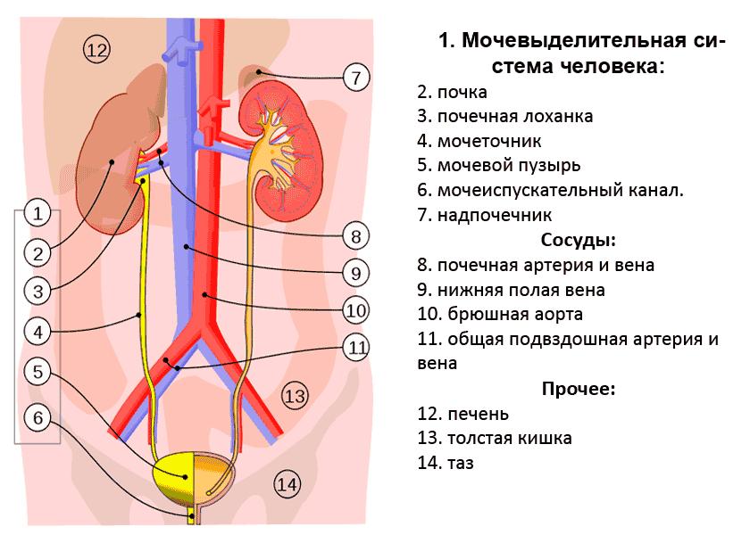 Мочевыделительная система человека